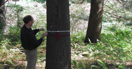 A person measuring the diameter of a forest tree