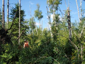 A declining birch stand in the North Shore project area.