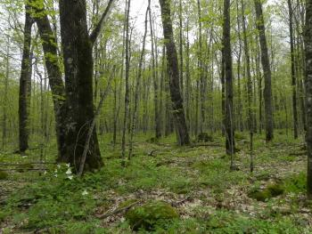 A northern hardwood stand in the Menominee Forest.
