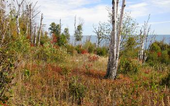 Dying paper birch and aspen forest at risk of transitioning to grass and shrub cover due to a lack of tree regeneration along Minnesota's north shore of Lake Superior (image permission of Chel Anderson/ Minnesota Conservation Volunteer).