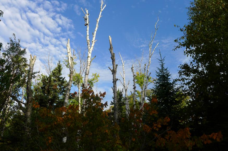 Declining paper birch in the North Shore project area.