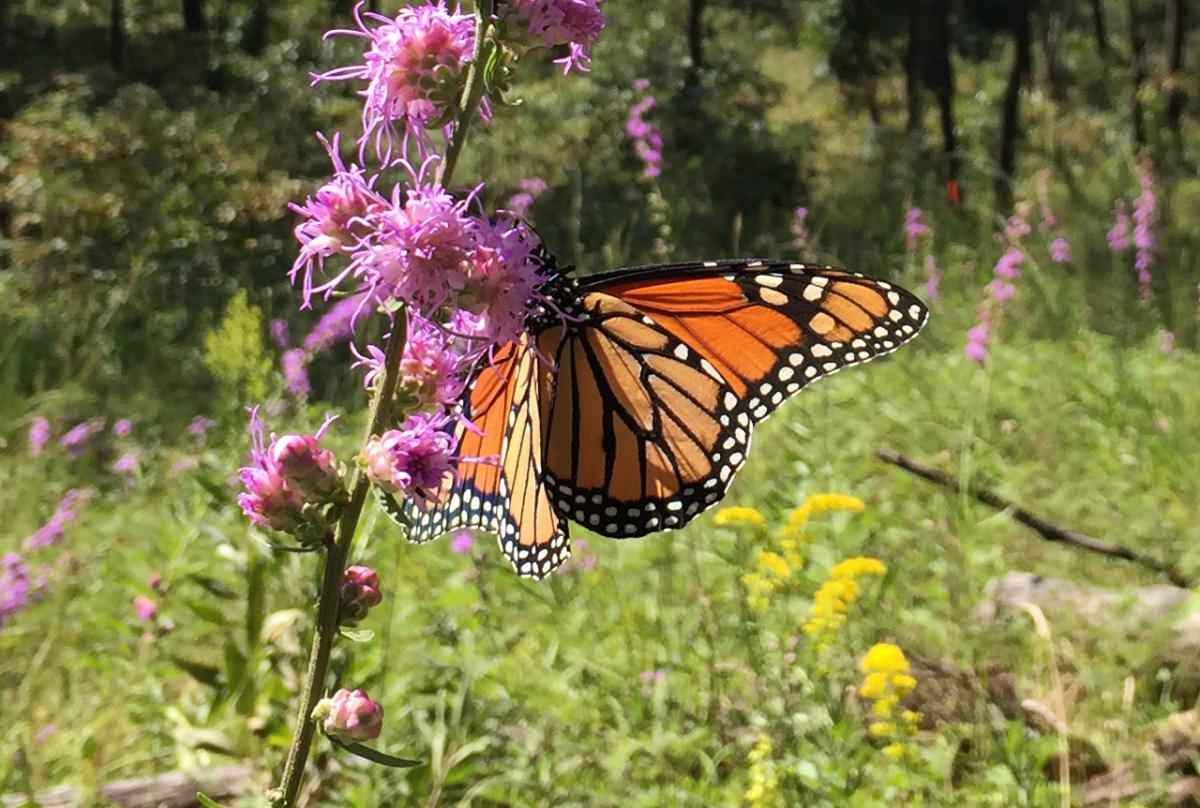 Monarch Indiana Dunes NPS